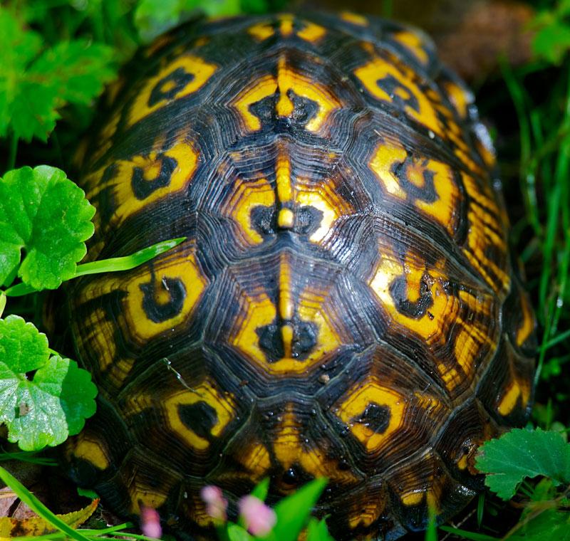 turtle shell pattern - 800×760